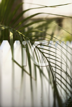 Royalty Free Photo of a Palm Frond Leaf Hanging Over a White Picket Fence on Bald Head Island, North Carolina