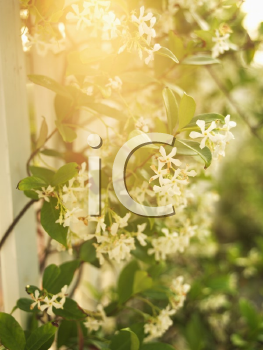Royalty Free Photo of a Sun Flare Through a Flowering Vine and White Picket Fence