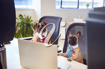 French Bulldog And Bulldog Puppy Dressed As Businessmen Sitting At Desk Looking At Computer