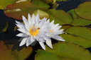 Two white water lilies in large coriaceous leaves on a sunny day