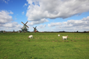 Charming Dutch pastoral. White lambs are peacefully grazed on a juicy grass against windmills.