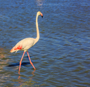 Slim bird pink flamingo. Evening light in the National Park of the Camargue, Provence, France