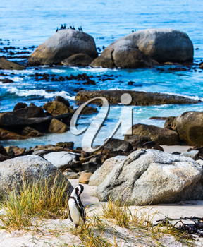 African black-white penguins on the beach of Atlantic Ocean. Boulders Penguin Colony in the Table Mountain National Park.  The concept of ecotourism