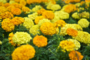 Royalty Free Photo of Yellow and Orange Flowers