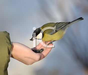 Royalty Free Photo of a Titmouse Taking Seeds From a Boy's Hand