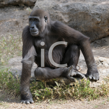 Royalty Free Photo of a Gorilla