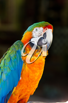 Colorful Parrot - Blue Yellow Macaw