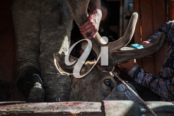 Cutting antlers of Altaic stag maral. The antlers of the Altai maral are the most valuable and are used in many non-traditional medicine of the world.