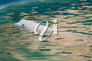 White dolphin at dolphinarium on performance