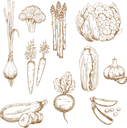 Vintage sketches of farm fresh carrots, garlic cloves and onion, sweet pea and broccoli, zucchini and cauliflower, asparagus and chinese cabbage vegetables. Use as restaurant menu, recipe book, vegeta