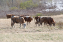 Royalty Free Photo of Cows