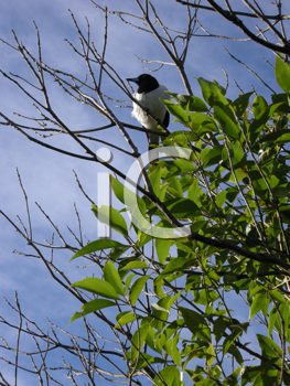 Royalty Free Clipart Image of a Butcherbird in a Tree