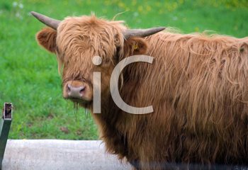 Royalty Free Photo of a Scottish Highland Steer
