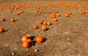 Royalty Free Photo of a Pumpkin Patch