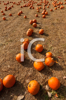 Royalty Free Photo of Pumpkins in a Field