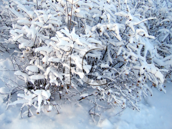 branches of bush under a snow