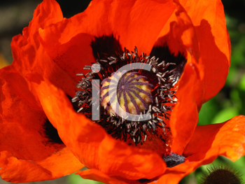 beautiful blooming red poppy flower close up
