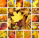 Collage from photos of beautiful autumn maple leaves