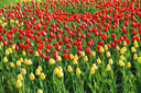 Nature background with beautiful yellow and red tulips