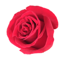 One red rose isolated on white background. Close-up.