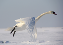 Royalty Free Photo of a Swan in Flight