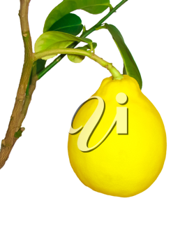 Ripe fruit on the branch of a lemon on a white background