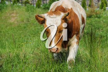 White-and-red calf on summer meadow
