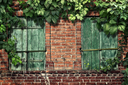 climbing plant on the old brick wall with windows