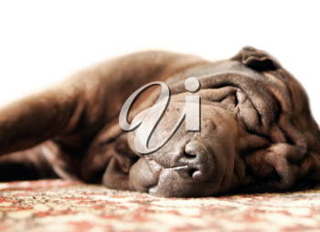 Pretty brown adult shar-pei sleeps on the carpet