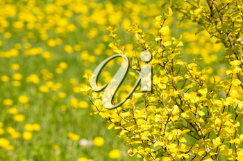 Tree with yellow leaves and blooming dandelions on background