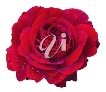 Elegant red rose with water drops