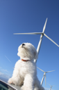 Aerial composition. Little white dog sniffing the air, wind turbines in the background.