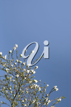 Shrub with white flowers over a shaded blue sky (vertical)
