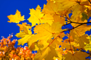 Royalty Free Photo of Maple Leaves