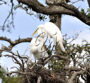 Royalty Free Photo of Great Egrets in a Nest