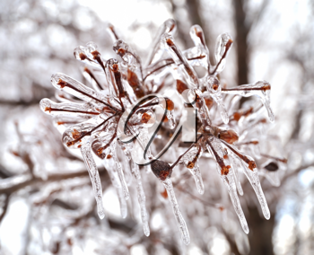 Royalty Free Photo of Icicles in a Tree