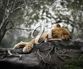 Female Lion Sleeping In The Woods