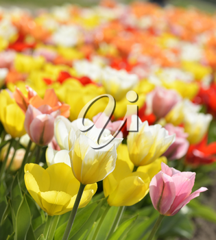 Colorful Tulip Flowers With Sunlight