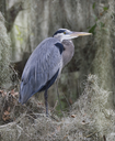 Great Blue Heron Perching In Florida Circle B Bar Reserve