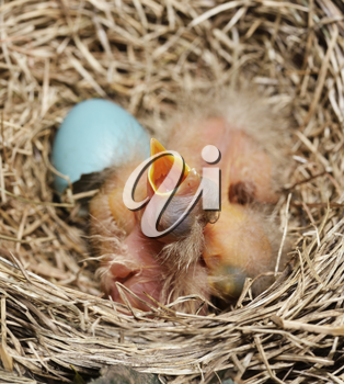 Close-Up Of Just Hatched Robin Chicks In The Nest