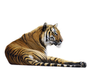 Tiger Relaxing ,Isolated On White Background