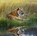 Tiger Relaxing On Grassy Bank With Reflection In Water