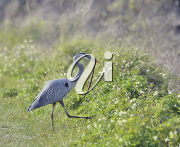 Great Blue Heron Catches a  Snake  in Florida Wetland