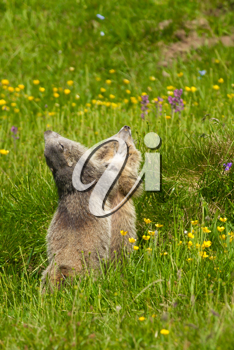 marmot in the alps fighting together