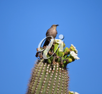 Royalty Free Photo of a Western Wren