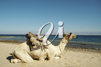 Royalty Free Photo of a Camel on the Coast
