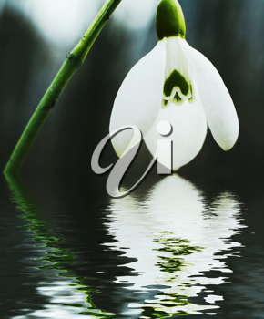 Royalty Free Photo of a Snowdrop Flower Reflecting in Water