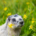 Marmots on meadow
