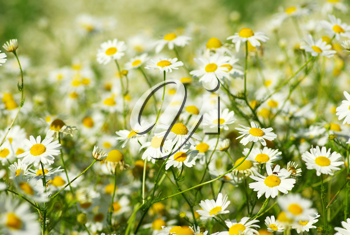 Blooming wild camomile flowers in the field