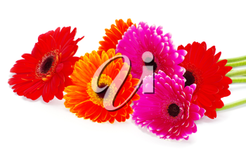 colorful  flowers gerberas on white background